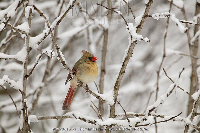 Northern Cardinal (Cardinalis cardinalis) female in snow, Witnal Park, Wisconsin, USA  -  Thomas Lazar/ npl