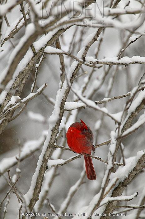 Northern Cardinal (Cardinalis cardinalis) male sleeping with head tucked under wing in snow, Witnal Park, Wisconsin, USA  -  Thomas Lazar/ npl