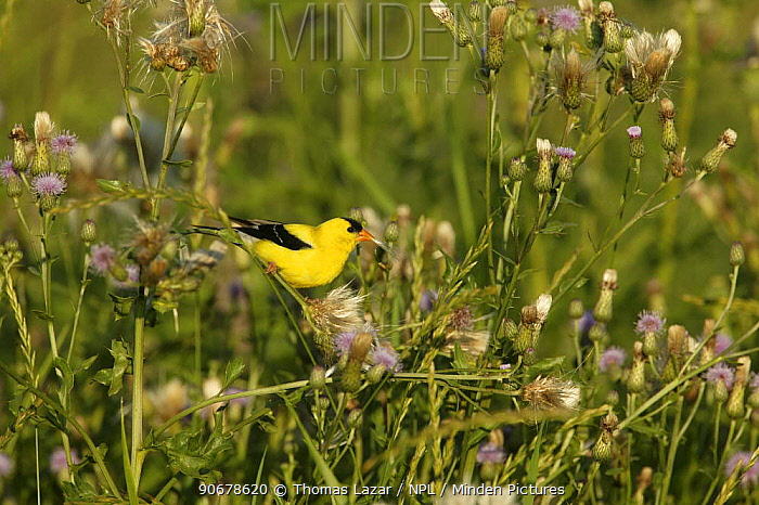 American Goldfinch (Carduelis tristis) collecting thistle down from Canada Thistle (Cirsium arvense) for nests, USA  -  Thomas Lazar/ npl