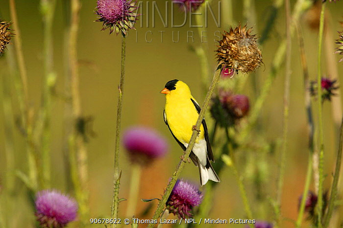 American Goldfinch (Carduelis tristis) male in breeding plumage perched on Nodding, Musk Thistle (Carduus nutans) USA  -  Thomas Lazar/ npl