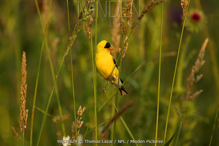 American Goldfinch (Carduelis tristis) male in breeding plumage amongst seed grasses, USA  -  Thomas Lazar/ npl