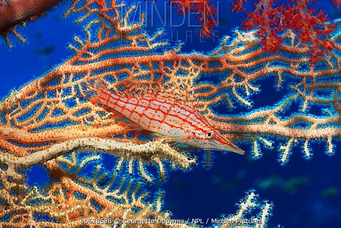 Longose hawkfish (Oxycirrhites typus) resting on Gorgonian coral Red Sea, Egypt  -  Georgette Douwma/ npl