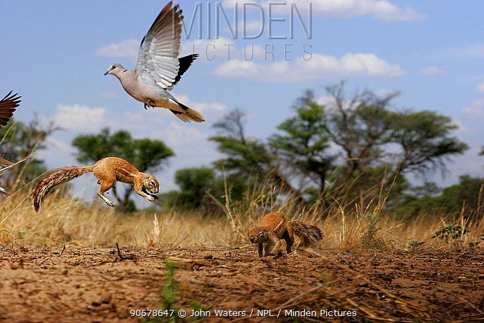 African Ground Squirrel (Xerus inaurus) two adults fighting, jumping in territorial dispute, Kalahari, North Cape, South Africa Dove flying away  -  John Waters/ npl