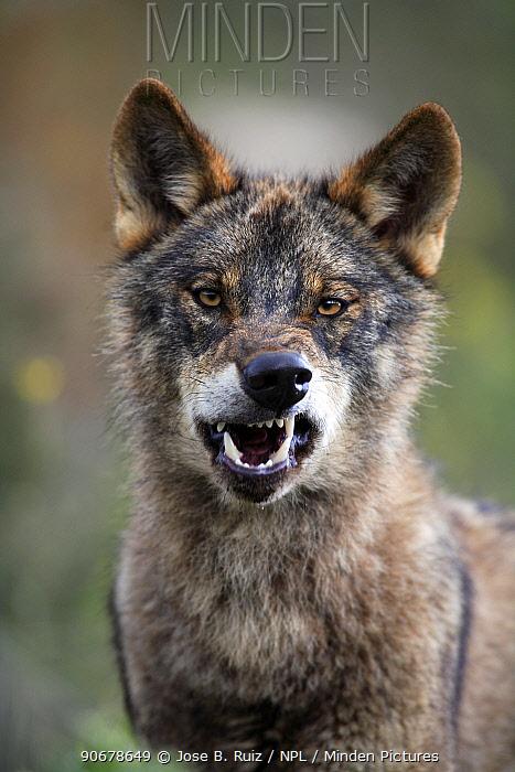 Portrait of Iberian wolf (Canis lupus sygnatus) snarling, captive, Lobo Park, Antequera, Malaga, Spain  -  Jose B. Ruiz/ npl