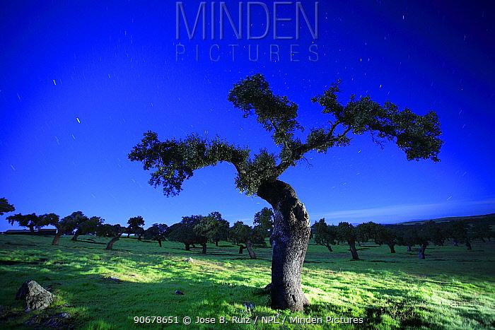 Holm oak tree (Quercus ilex) at night, Spain  -  Jose B. Ruiz/ npl