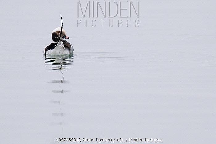 Long tailed duck (Clangula hyemalis) male Baltic sea coast, Germany  -  Bruno D'amicis/ npl