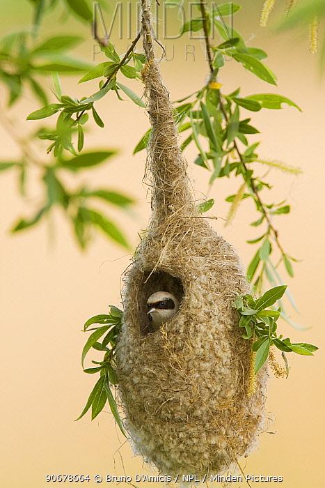 Penduline tit (Remiz pendulinus) female peering out of the nest Germany  -  Bruno D'amicis/ npl