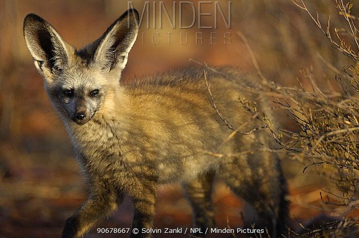 Bat-eared fox (Otocyon megalotis) with ears upright, Namib-Naukluft National Park, Namib Desert, Namibia  -  Solvin Zankl/ npl