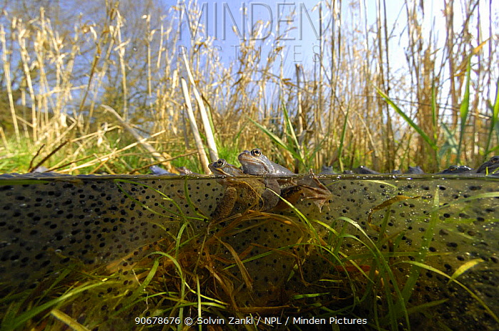 Moor frog (Rana arvalis) mating pair in pond, Germany  -  Solvin Zankl/ npl