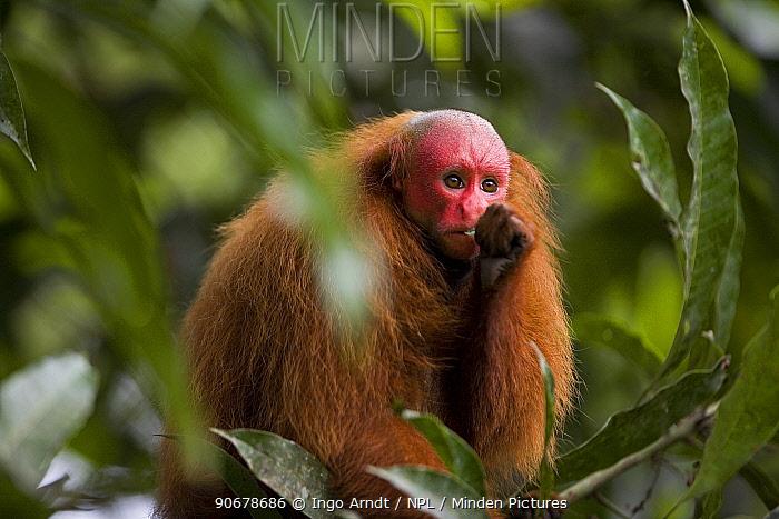 Red bald headed uakari (Cacajao calvus ucayalii) in tree, Rio Yavari, Amazonia, Peru  -  Ingo Arndt/ npl