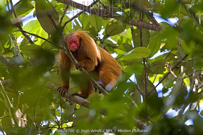 Red bald headed uakari (Cacajao calvus ucayalii) looking down from tree canopy, Rio Yavari, Amazonia, Peru  -  Ingo Arndt/ npl