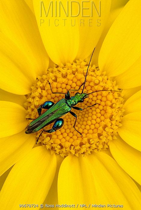 Thick-legged flower beetle (Oedemera nobilis) on Corn marigold (Chrysanthemum segetum), Cornwall UK Winner of Seasons category of the BWPA 2011 competition  -  Ross Hoddinott/ npl