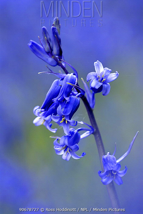 Bluebell (Endymion, Hyacinthoides non-scripta), Cornwall UK  -  Ross Hoddinott/ npl