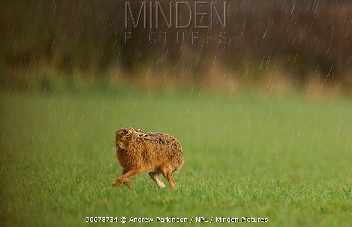 Adult Brown, European hare (Lepus europaeus) runs to the shelter of a hedgerow to escape an April shower, Derbyshire, UK  -  Andrew Parkinson/ npl