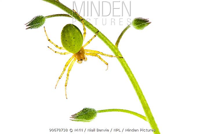 Cucumber green spider (Araniella cucurbitina) hanging off plant, Scotland, UK meetyourneighboursnet project  -  MYN/ Niall Benvie/ npl