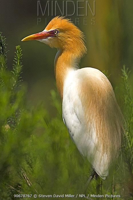 Cattle Egret (Ardea ibis), captive, Caversham Wildlife Park, Perth, Western Australia  -  Steven David Miller/ npl