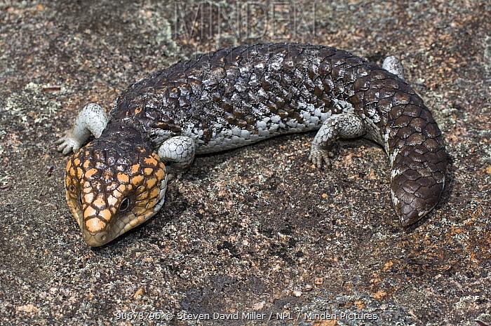 Shingleback, Stumpy-tail (Taliqua, Trachydosaurus rugosa rugosa) on granite rock, Cape Le Grand National Park, Western Australia  -  Steven David Miller/ npl