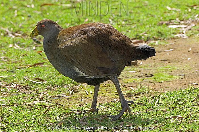 Tasmanian Native Hen (Tribonyx, Gallinula mortierii) Bruny Island, Tasmania, Australia, endemic  -  Steven David Miller/ npl