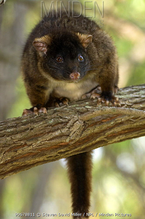 Western Ringtail Possum (Pseudocheirus occidentalis) resting in weeping peppermint tree, Summer, Busselton, Western Australia, Endangered  -  Steven David Miller/ npl