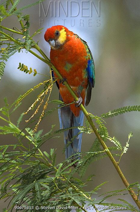 Western Rosella (Platycercus icterotis) Gloucester National Park, Pemberton, Western Australia  -  Steven David Miller/ npl