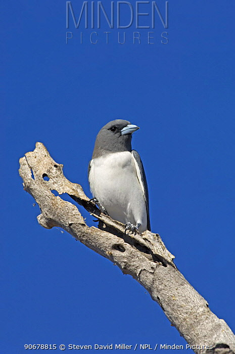 White-breasted Woodswallow (Artamus leucorynchus) on dead tree branch looking out for insects, Winter, Lake Argyle, Western Australia  -  Steven David Miller/ npl