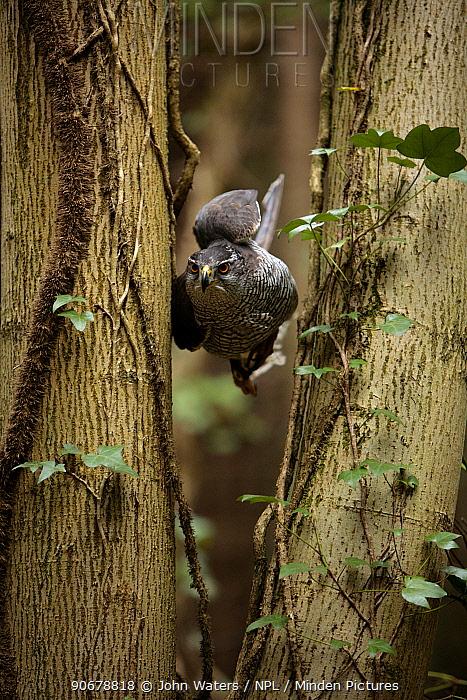 Northern goshawk (Accipiter gentilis) female manoevering through mixed woodland, tucking in wings to pass through narrow gaps between trees, captive, Somerset, UK  -  John Waters/ npl