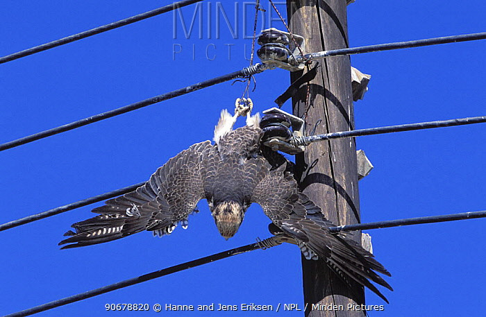 Lanner falcon (Falco biarmicus) dead, with jesses caught in electrical wires, Sohar, Oman  -  Hanne & Jens Eriksen/ npl