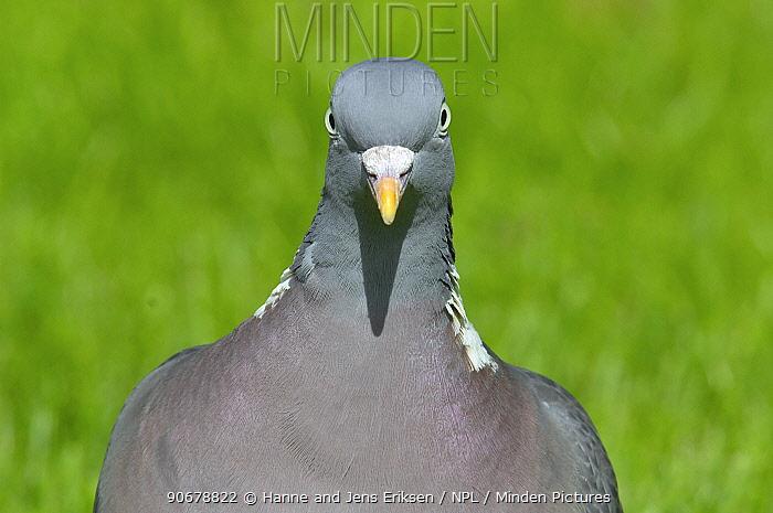 Wood pigeon (Columba palumbus) head from front, Holstebro, Denmark  -  Hanne & Jens Eriksen/ npl
