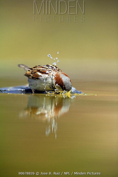 Common sparrow (Passer domesticus) bathing in water, Moralet, Alicante, Spain  -  Jose B. Ruiz/ npl