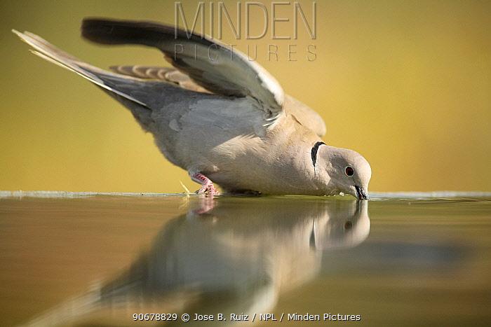 Collared dove (Streptopelia decaocto) drinking from bird bath, Moralet, Alicante, Spain  -  Jose B. Ruiz/ npl