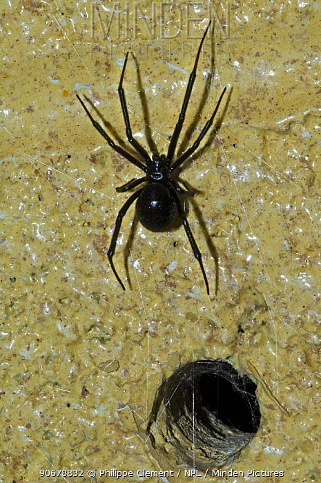 Western Black widow (Latrodectus hesperus) spider leaving burrow, hole in wall Arizona, USA  -  Philippe Clement/ npl