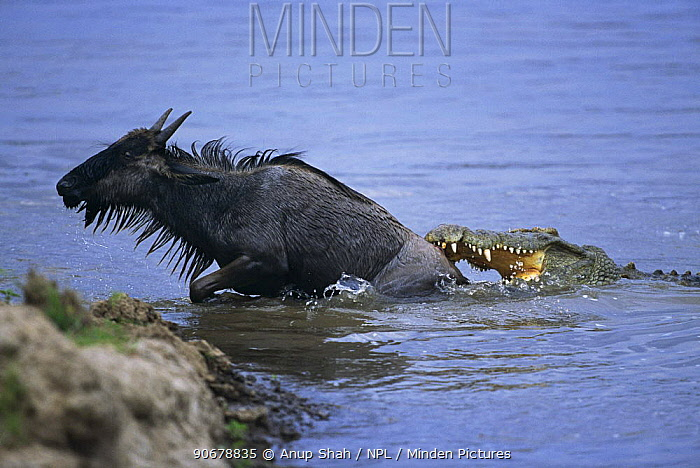 Wildebeest (Connochaetes taurinus) climbing out of river to escape the jaws of a Nile crocodile (Crocodylus niloticus) Masai Mara GR, Kenya  -  Anup Shah/ npl
