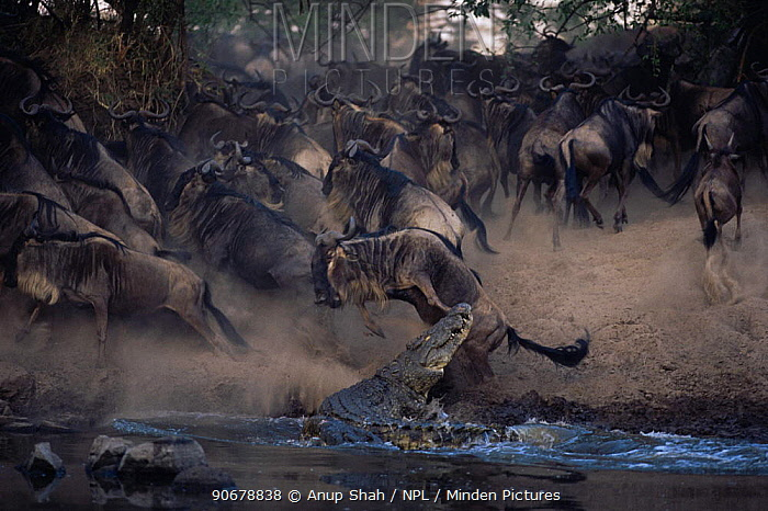 Nile crocodile (Crocodylus niloticus) lunges for Wildebeest (Connochaetes taurinus) which leaps out of its reach, Grumeti river, Serengeti NP, Tanzania  -  Anup Shah/ npl