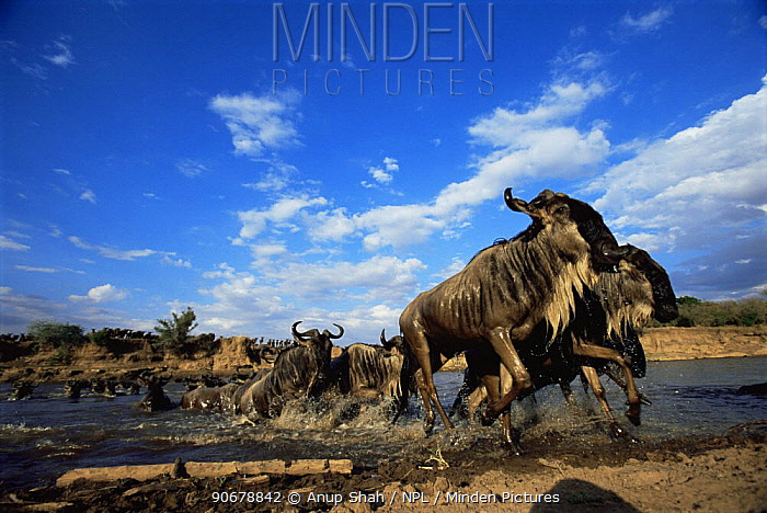 Wildebeest (Connochaetes taurinus) emerging from crossing the Mara river on migration, Masai Mara GR, Kenya Wildebeest migrate annually a marathon distance of 1,000 miles!  -  Anup Shah/ npl