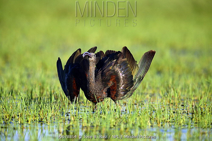 Glossy ibis (Plegadis falcinellus) dispalying in wetland, sequence 2, 2, Donana NP, Spain  -  Jose B. Ruiz/ npl