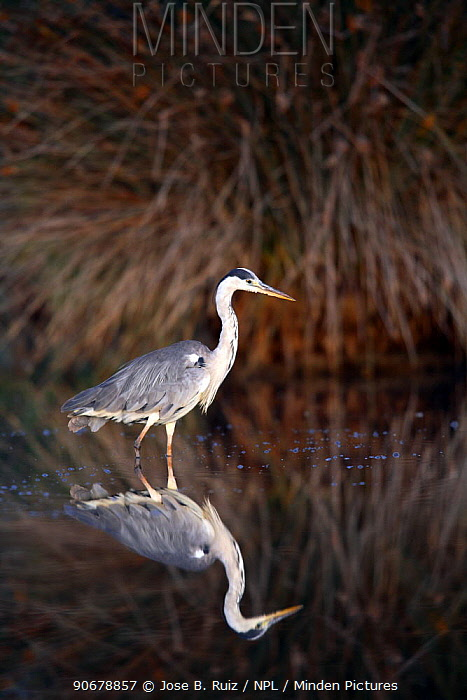 Grey heron (Ardea cinerea) wading in lake, Donana NP, Sevilla, spain  -  Jose B. Ruiz/ npl