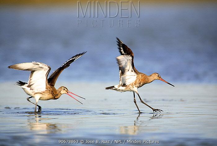 Black tailed godwits (Limosa limosa) landing on water surface, Donana NP, Sevilla, Spain  -  Jose B. Ruiz/ npl