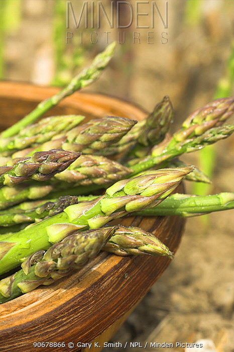 Asparagus (Asparagus officinalis) freshly harvested spears in trug with bed in background, UK, June  -  Gary K. Smith/ npl