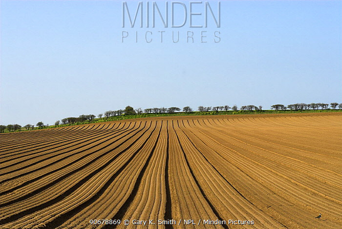 Arable field with with freshly drilled Carrot beds, Norfolk, UK, April  -  Gary K. Smith/ npl