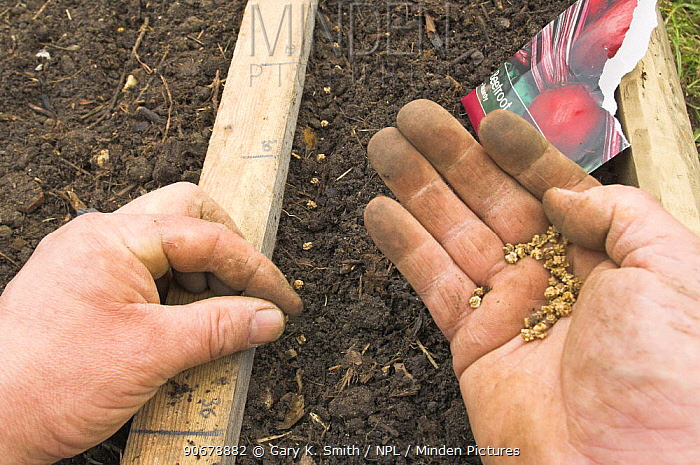 Sowing Beetroot seeds (Beta vulgaris) in springtime, March, UK  -  Gary K. Smith/ npl