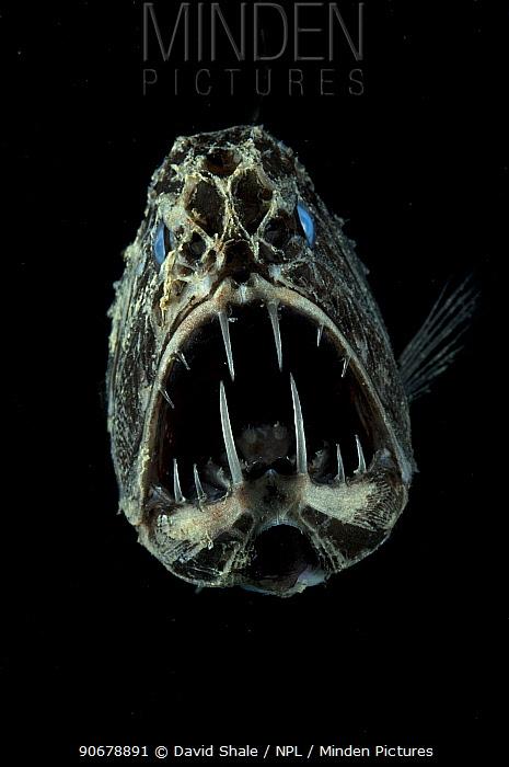 Portrait of Fangtooth (Anoplogaster cornuta) Atlantic  -  David Shale/ npl