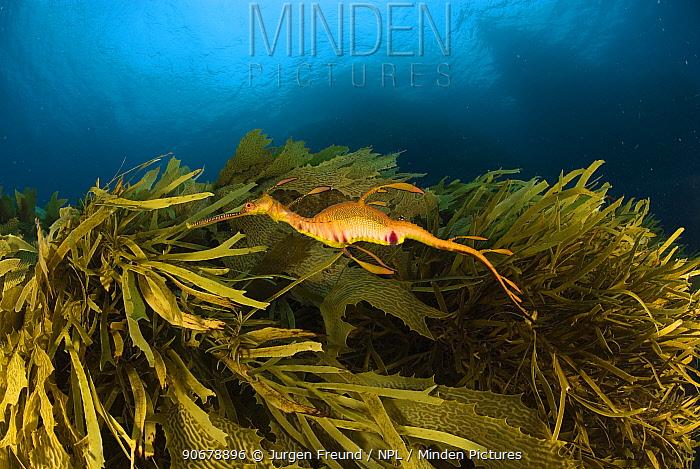 Weedy seadragon (phyllopteryx taeniolatus) swimming amongst seaweed, Albany, Western Australia  -  Jurgen Freund/ npl