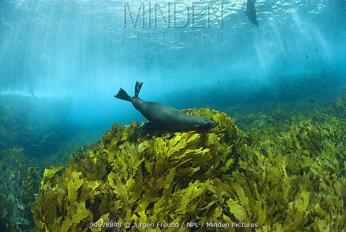 New Zealand fur seals (Arctocephalus forsteri) swimming amongst kelp Albany, Western Australia  -  Jurgen Freund/ npl
