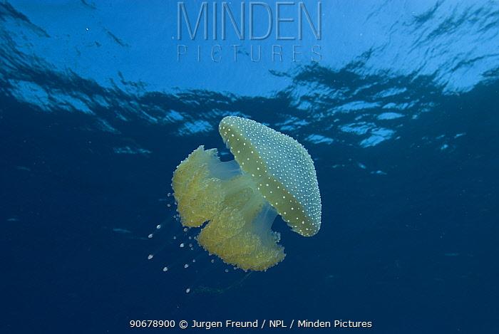Australian spotted jellyfish (Phyllorhiza punctata), Rowley Shoals, Western Australia  -  Jurgen Freund/ npl