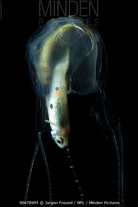 Irukandji box jellyfish (Carukia barnesi) catching and feeding on fish, north Australian  -  Jurgen Freund/ npl