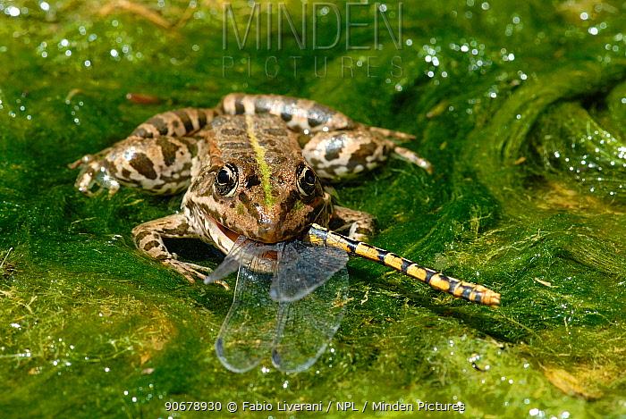 European Edible Frog (Rana esculenta) eating a Green eyed hook tailed dragonfly (Onychogomphus forcupatus) amongst pond weed, Grigne Mountains, Lombardia Region, Italy  -  Fabio Liverani/ npl