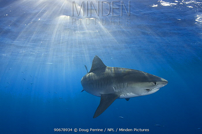 Tiger shark (Galeocerdo cuvier) North Shore, Oahu, Hawaii, USA, Central Pacific Ocean, note: parasitic leech on side of face  -  Doug Perrine/ npl