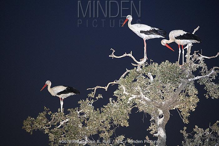 White storks (Ciconia ciconia) roosting in tree at night, Donana NP, Spain  -  Jose B. Ruiz/ npl