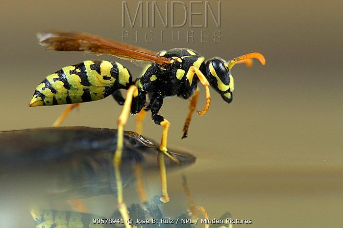 Paper wasp (Polistes gallicus) at water, Spain  -  Jose B. Ruiz/ npl