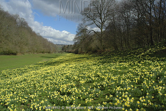 Wild Daffodils (Narssicus pseudonarcissus) growing in a valley at Harewood, Herefordshire, UK  -  Will Watson/ npl